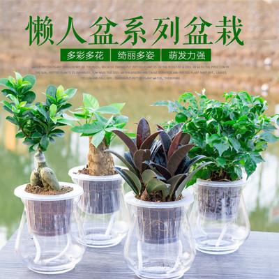 小盆景水培花卉室内植物榕树幸福树清香木橡皮树发财树盆栽