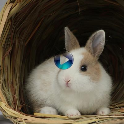 迷你侏儒猫猫兔宠物兔子活体纯种荷兰短毛垂耳兔茶杯兔宝宝长不大