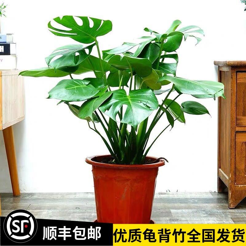 龟背竹大型盆栽室内客厅仙洞水培植物开背大叶吸甲醛老桩四季常青