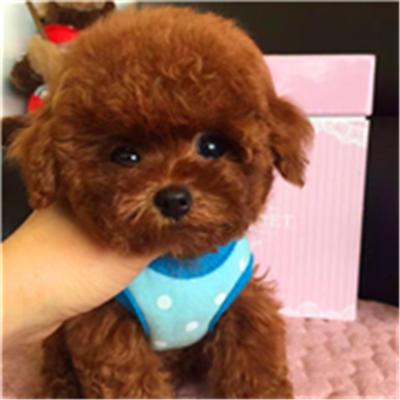 台州纯种泰迪贵宾犬茶杯博美哈士奇萨摩耶金毛拉布拉多幼犬活体狗
