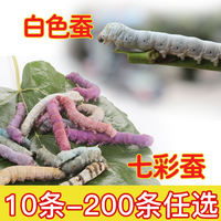 1-5-year-old silkworm baby live silkworm teaching silkworm pet silkworm send fresh mulberry leaf white silkworm batch transport package live
