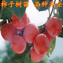 Fire Crystal Persimmon sapling courtyard plant path trees fruit tree seedlings year results hanging fruit