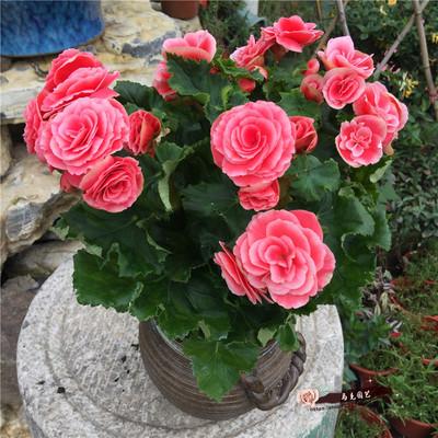 盆栽植物 海棠花 玫瑰海棠花 四季秋海棠 丽格海棠苗 盆栽花卉