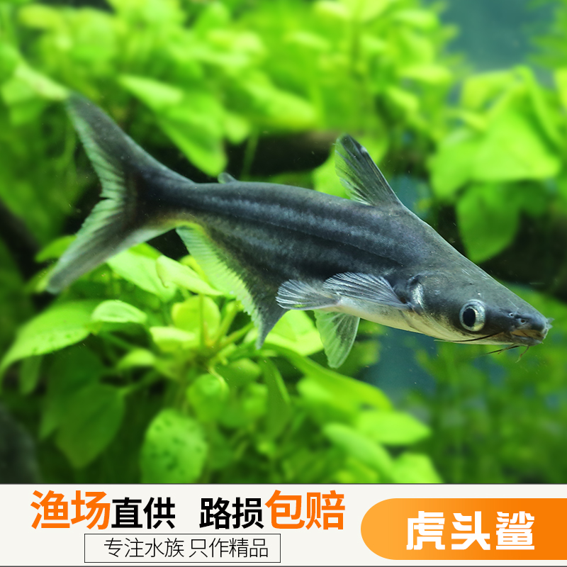 热带宠物观赏鱼活体易养鱼虎头鲨大白鲨鱼凶猛鱼虎鲨大型鱼1716