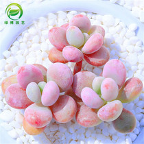 Peach Egg Multi-meat plant peach Egg Double head multiple combination basin better package green potted plant