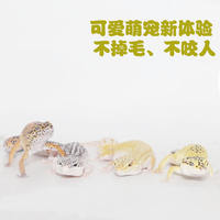 Lizard living entry-level pet leopard Guardian docile docile cute does not bite larvae adult body good raise alternative crawling pet