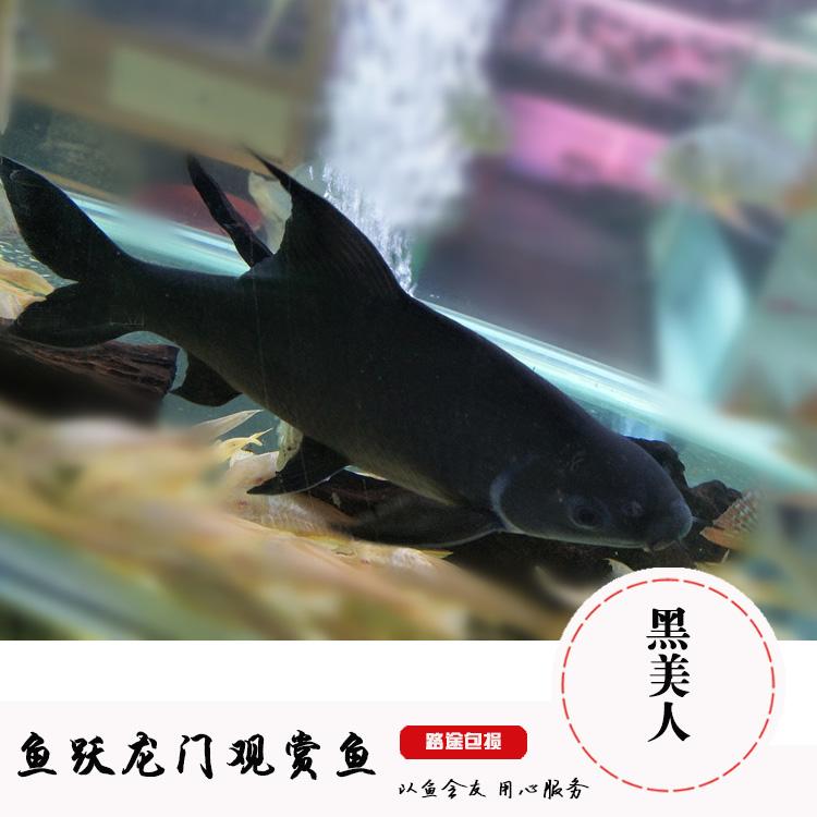 黑鲨鱼黑美人鱼活体鱼贵族清道夫鱼缸除藻高手清缸利器热带观赏鱼