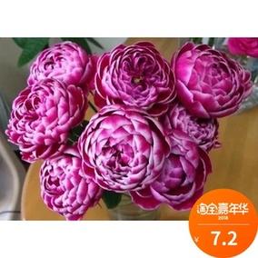 日本切花月季 玛丽玫瑰 月季 扦插苗