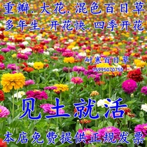 Hundred Days grass seed flower seeds Four Seasons sowing easy to live flowering continuous solar flower seed landscape flower Sea Seed