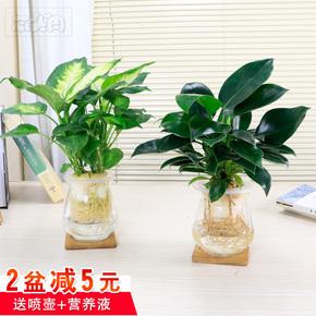 万年青水培植物盆栽办公室内绿植花卉吸甲醛防辐射水养植物金钻