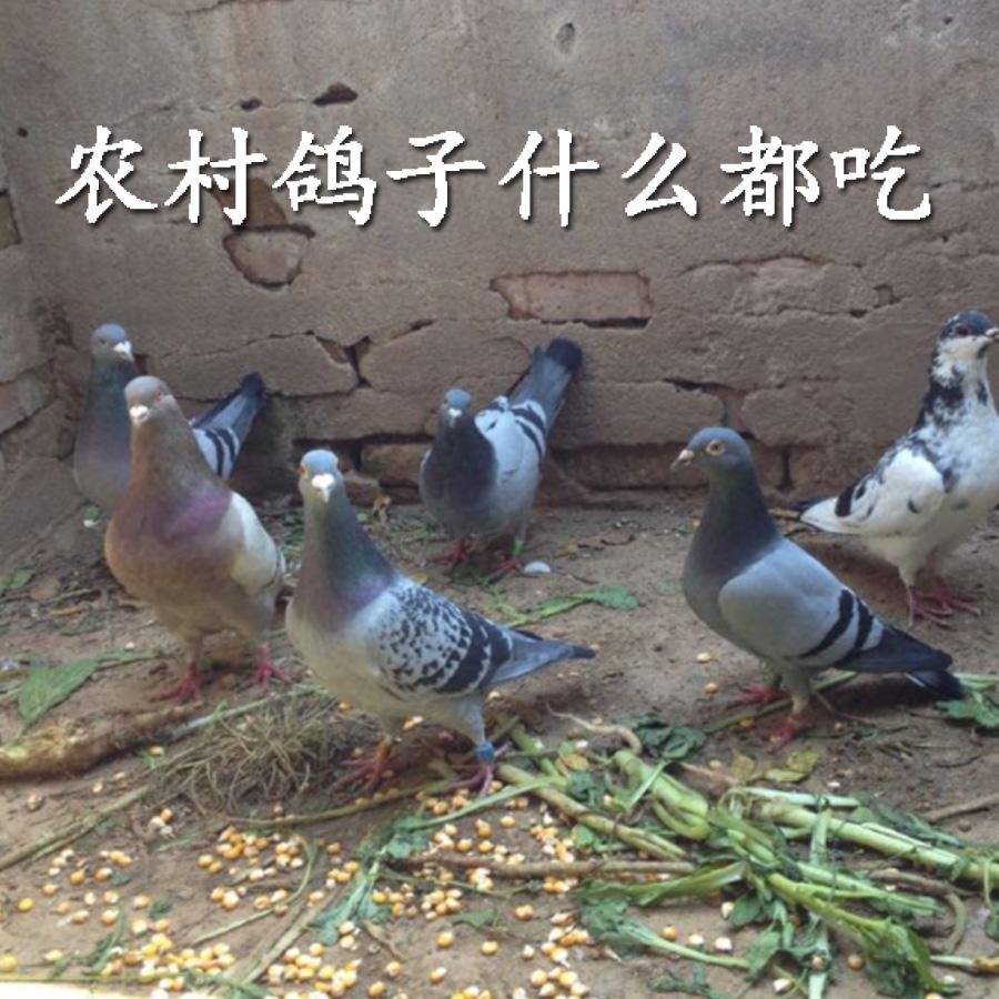 新鲜鸽子肉 杀前500g只肉鸽农家散养土鸽活体 现杀乳鸽嫩鸽子肉