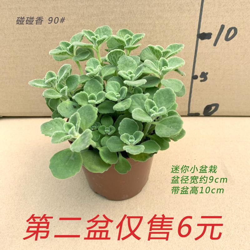 碰碰香小盆栽一抹香室内客厅办公阳台净化空气花卉带香味提神绿植