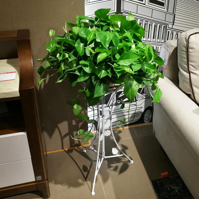 大盆绿萝盆栽客厅