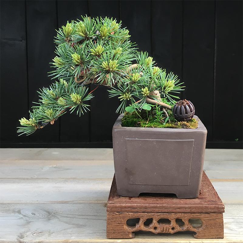 微型正宗短针日本五针松大阪松小盆景瑞光那须名贵品绿植盆栽矮霸