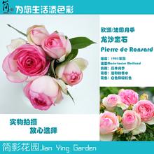 龙沙宝石 包邮 经典 欧洲法国大藤本月季可自选苗全场 简影花园