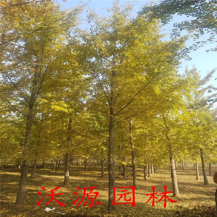 绿化实生银杏树小苗嫁接结果银杏树占地银杏树白皮松油松金复叶戚