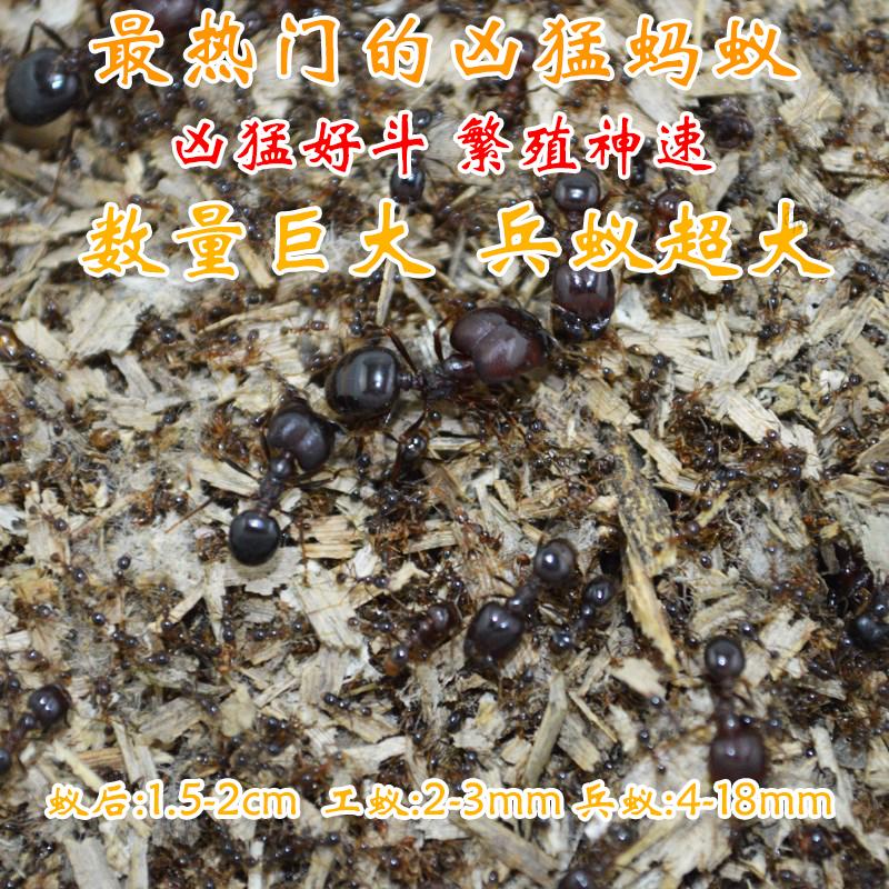 特价冲钻 全异巨首蚁 Pheidologeton 宠物蚂蚁 工坊活体宠物科普图片