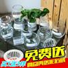 绿萝水培花瓶 玻璃 大