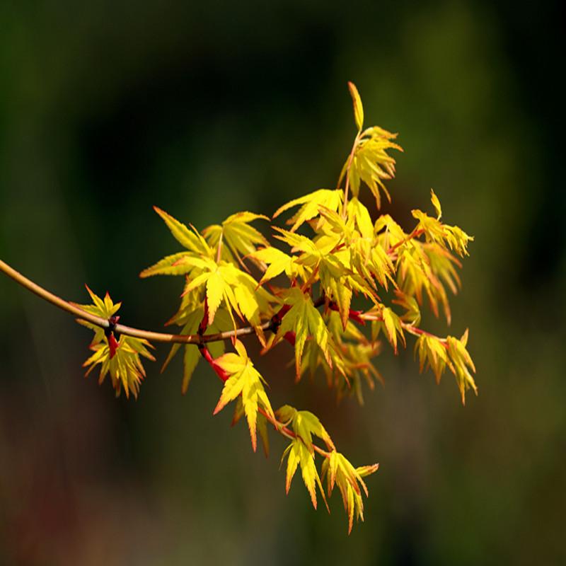 黄金枫袖锦 枫树树苗金叶鸡爪槭 彩叶枫树日本庭院植物日本槭树
