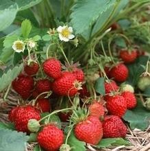 草莓苗四季盆栽种植家居饰品带土南方北方种植攀援爬藤当年结果