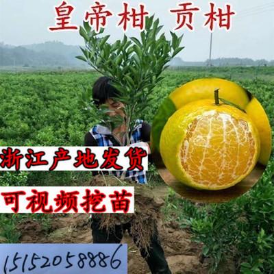 正宗 广东德庆肇庆皇帝柑苗贡柑橘砂糖桔橘子果树苗当年结果包邮