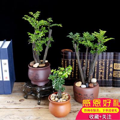 小叶紫檀盆景樹苗紫檀樹桩室内阳台盆栽花卉绿植耐寒四季常青植物