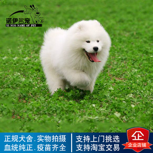 活体纯种萨摩耶幼犬活体哈士奇比熊泰迪茶杯犬博美阿拉斯加牧羊犬
