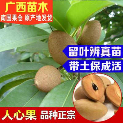 人心果苗树苗南方种北方种可盆栽地栽树苗庭院植物人心果带果树苗