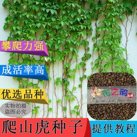爬山虎种子攀援五叶地锦爬藤三叶爬墙虎盆栽植物种籽室内四季易种