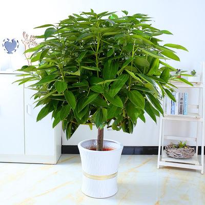 大型绿植平安树盆栽大客厅幸福树四季常青绿色植物花卉办公室包邮销量排行