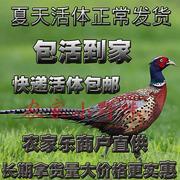 散养鲜活野鸡活体 七彩山鸡 雉鸡老母鸡 公鸡 野山鸡土鸡包活免邮