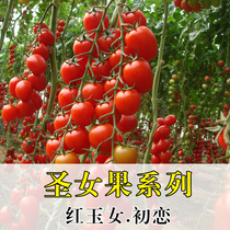 Tomato seed vegetable Seeds Four Seasons red Jade girl Saint fruit yellow purple jade purple tomato tomato Spring sowing