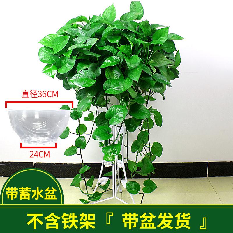 长藤大叶绿萝盆栽室内植物茉莉花芦荟红掌办公室水培栀子花卉吊兰图片