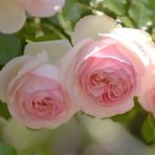 品种月季龙沙宝石藤本抗病耐热包子爬藤大花庭院开花盆栽花卉花苗