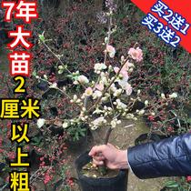 海棠花盆栽花苗四季开花赛牡丹花梅花盆景老桩海棠室内外庭院绿植