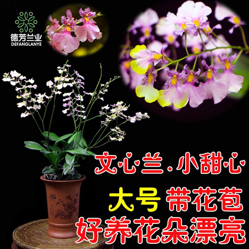 德芳兰业兰花苗带花苞蕙兰浓香四季建兰墨兰盆花室内花卉植物盆栽