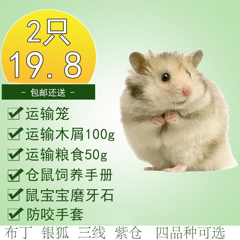 买1送6 仓鼠活体宝宝迷你家养宠物一对 布丁银狐紫仓三线 包邮