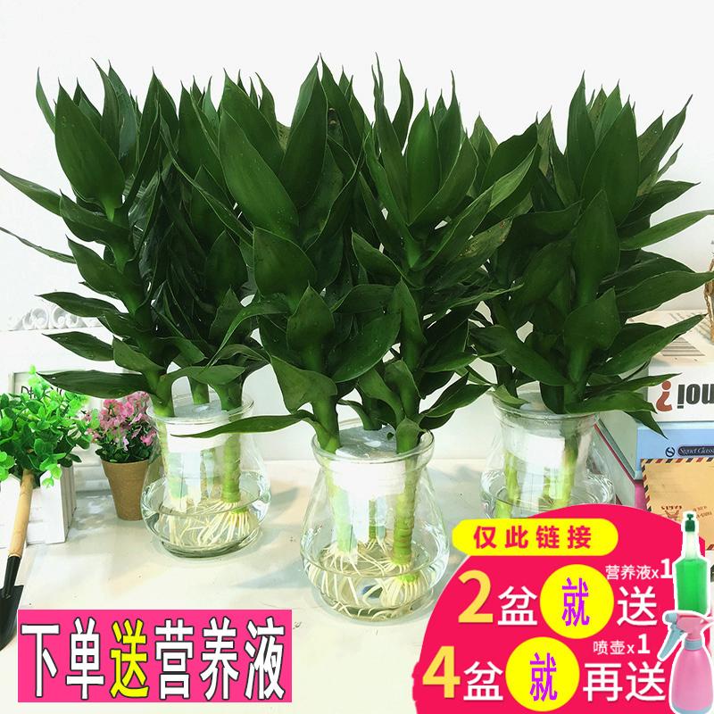 观音竹水培植物富贵竹步步高绿植绿萝盆栽室内水养栀子花卉发财树图片