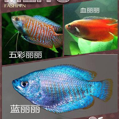 五彩丽丽鱼 血丽丽鱼 蓝丽丽鱼  热带鱼观赏鱼活体