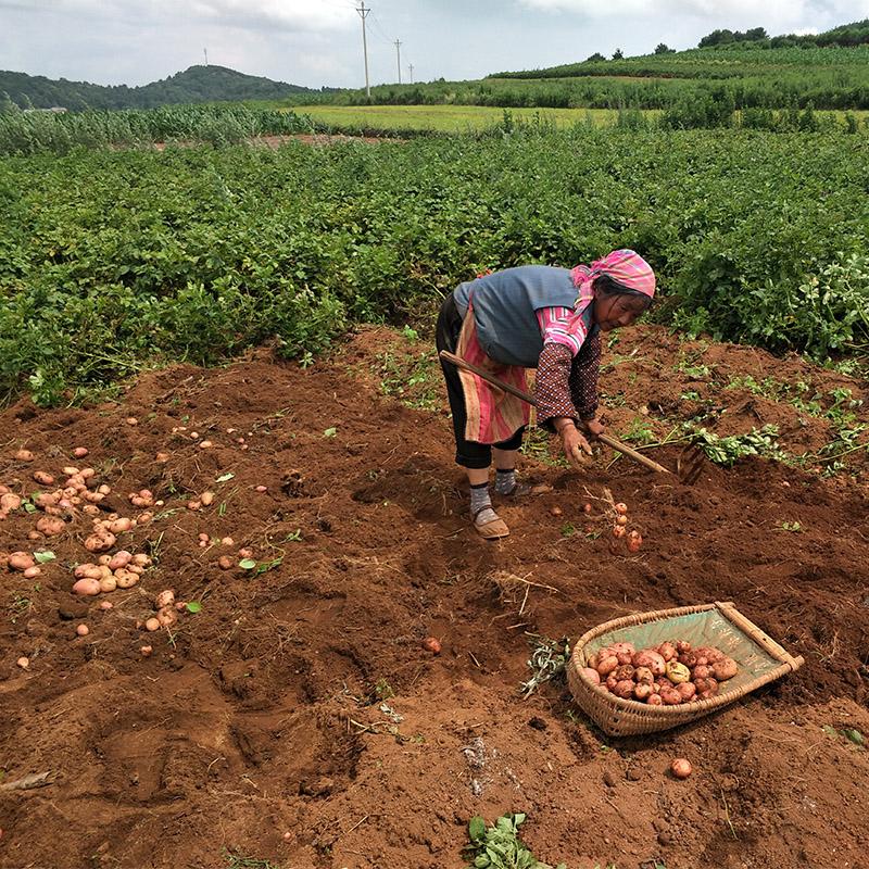 土豆新鲜小土豆10斤农家自种蔬菜云南红皮黄心土豆批发马铃薯洋芋