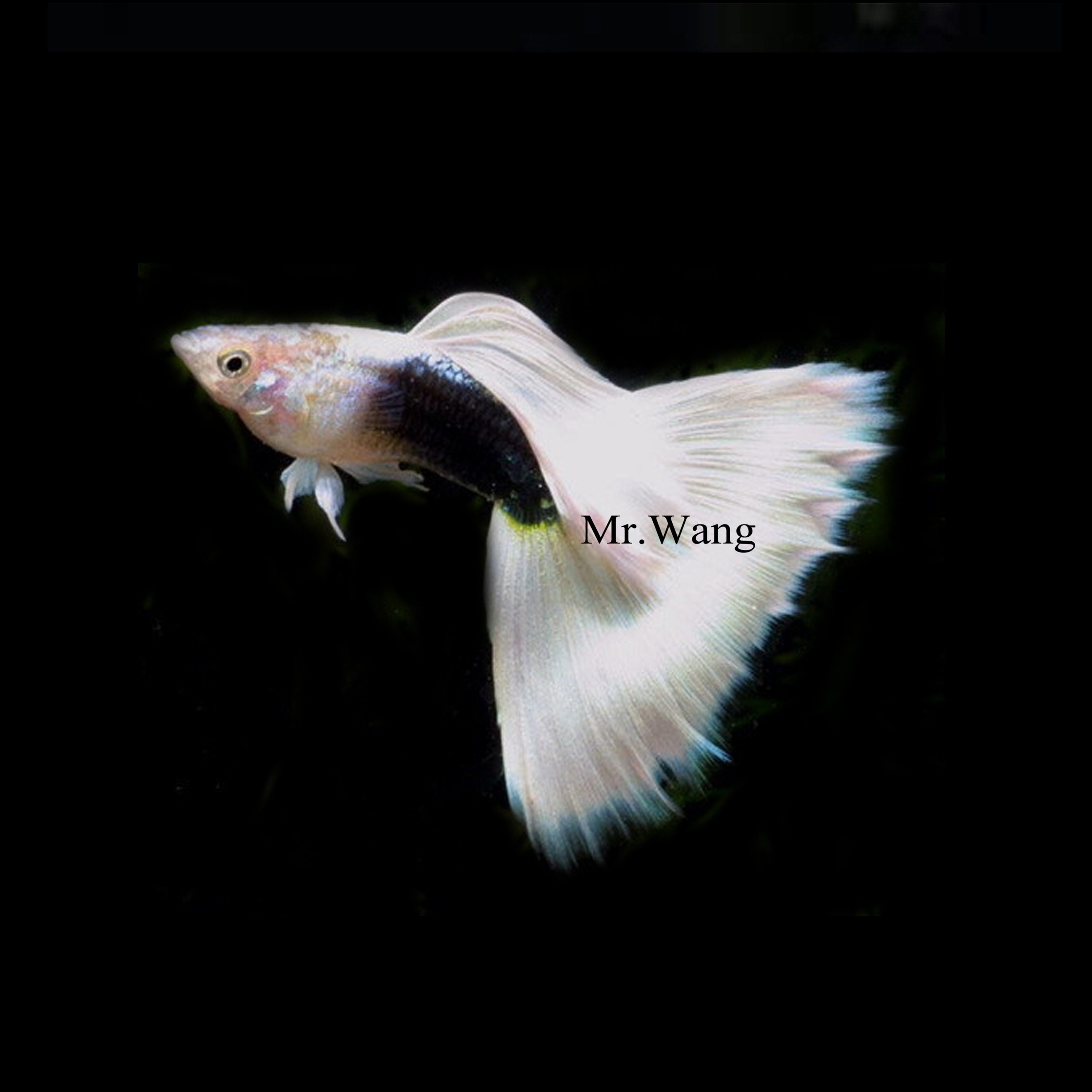 黄礼服孔雀鱼观赏鱼热带鱼凤尾鱼小型鱼淡水鱼纯种活体宠物自繁