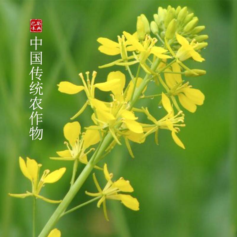 四川特产黄菜籽油4L黄菜油食用油菜子油非转基因物理压榨农家自榨