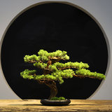 Light luxury new Chinese simulation welcoming pine bonsai green plant living room hotel porch model home decoration ornaments