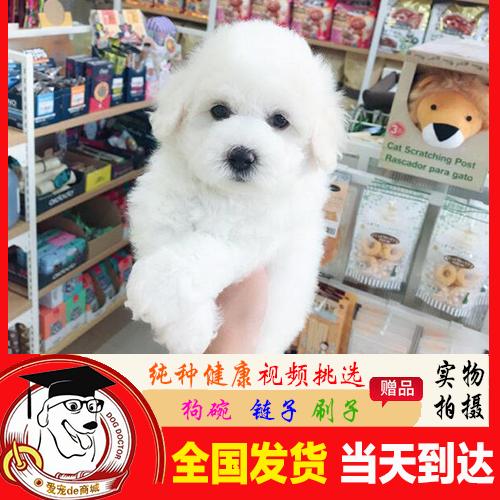 西安比熊犬幼犬活体 纯种比熊狗小体比熊幼犬 小型宠物狗狗活体P3