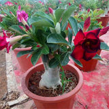 Desert rose potted green plant flowers flower plant indoor flower seedlings double-flowered with flower pots four seasons flowering free post