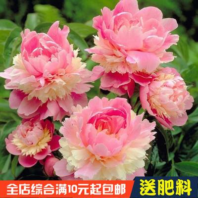 芍藥種子盆栽易種活室內外庭院牡丹芍藥花卉種子重瓣大花苗種籽子