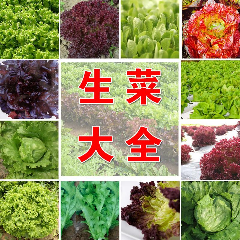 四季奶油生菜种子阳台专用四季播蔬菜种子口感好可生吃有机生菜籽