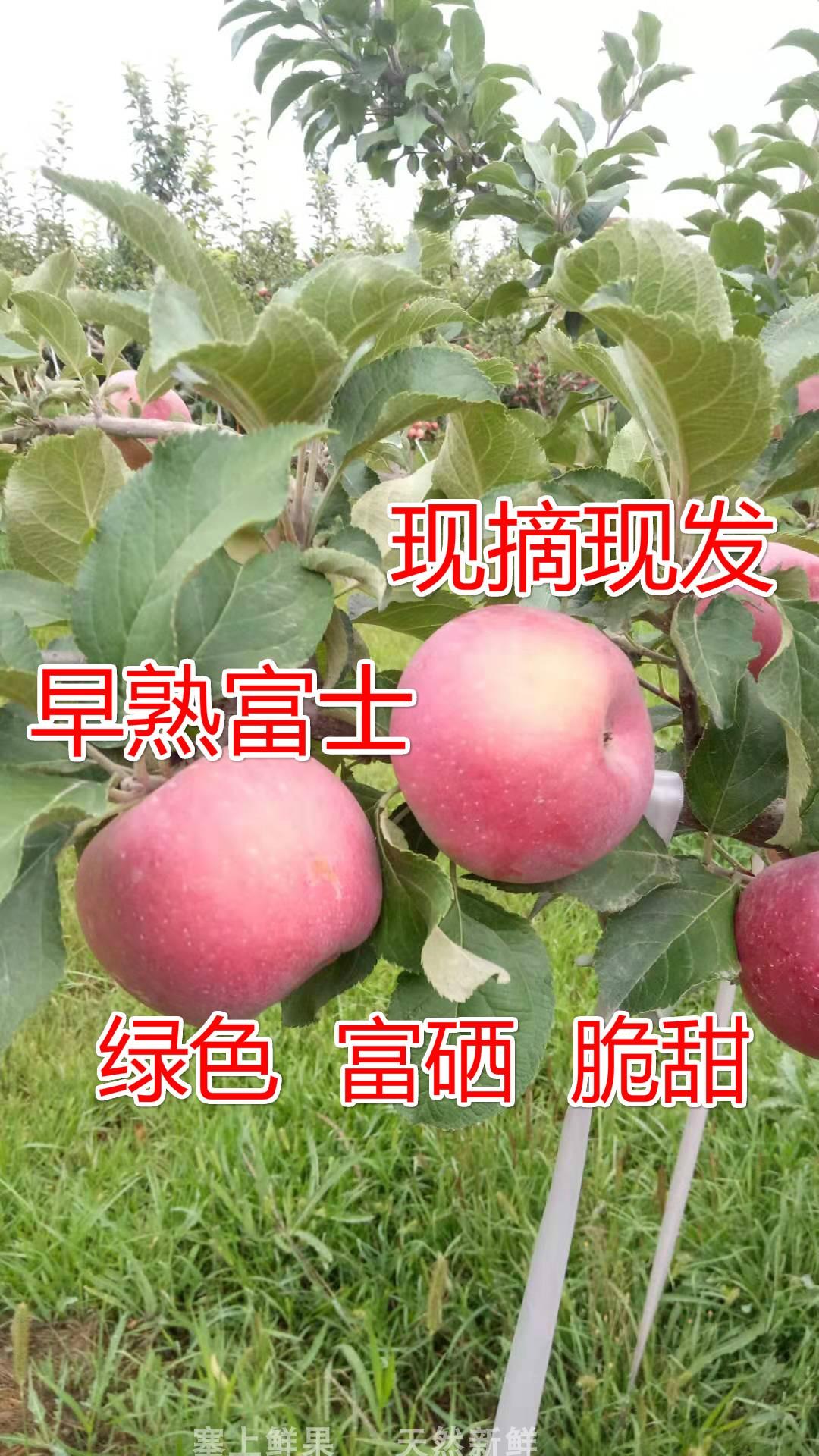 宁夏新鲜水果早熟富士脆甜绿色果蔬富硒阳光果口感好丑苹果树上熟