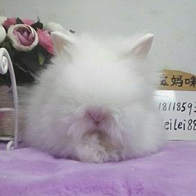 宠物兔活体纯白造型兔安哥拉盖脸猫猫兔纯种长毛网红兔甜馨同款