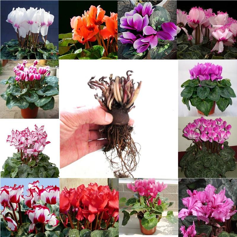 仙客来蟹爪兰香水百合牡丹芍药多年生花苗当年开花绿植盆栽带花苞